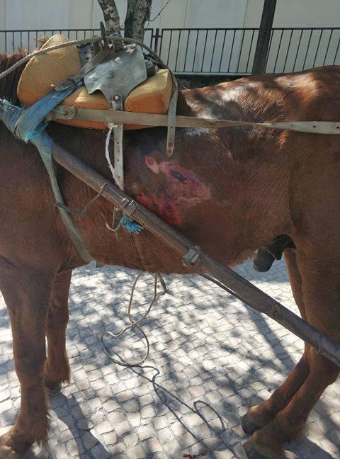 Cavalo morre após ser levado à exaustão e imagens causam revolta em Viseu 2
