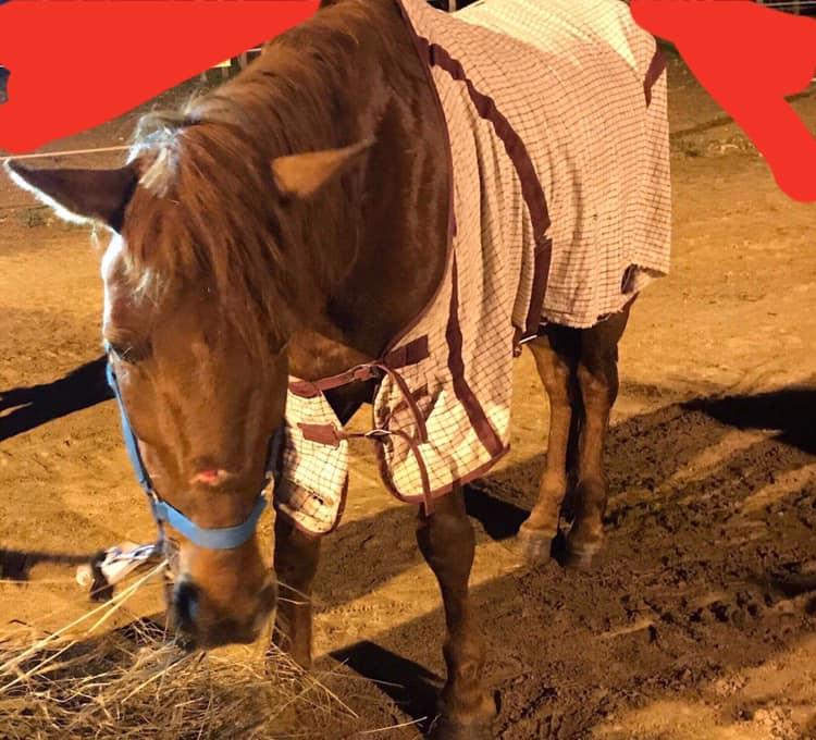 Cavalo é levado à exaustão em Viseu 5