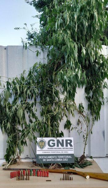 Detido por cultivo de cannabis em Tondela